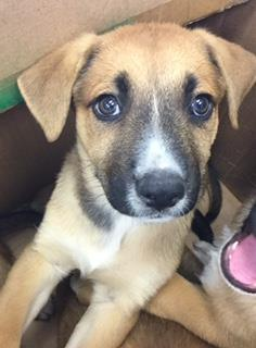 Mix-Bred SHEPHERD Female  Young  Puppy #A429846#  Animal Care Services (San Antonio) - click here to view larger pic