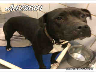 Mix-Bred AMERICAN STAFFORDSHIRE TERRIER Female  Adult  Dog #A429861#  Animal Care Services (San Antonio) - click here to view larger pic