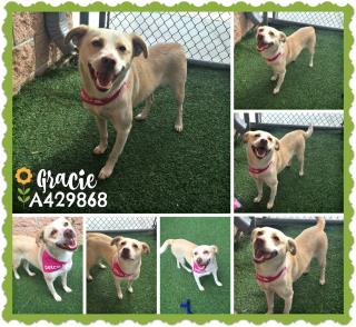 LABRADOR RETRIEVER Female  Young  Puppy #A429868#  Animal Care Services (San Antonio) - click here to view larger pic