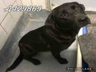 Mix-Bred LABRADOR RETRIEVER Female  Adult  Dog #A429869#  Animal Care Services (San Antonio) - click here to view larger pic