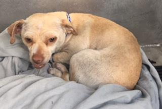Mix-Bred CHIHUAHUA - SMOOTH COATED Female  Dog #A429876#  Animal Care Services (San Antonio) - click here to view larger pic