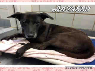 LABRADOR RETRIEVER Female  Adult  Dog #A429889#  Animal Care Services (San Antonio) - click here to view larger pic