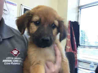 Mix-Bred SHEPHERD Female  Young  Puppy #A429906#  Animal Care Services (San Antonio) - click here to view larger pic
