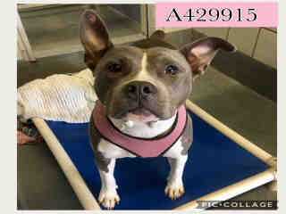 Mix-Bred AMERICAN STAFFORDSHIRE TERRIER Female  Young  Puppy #A429915#  Animal Care Services (San Antonio) - click here to view larger pic