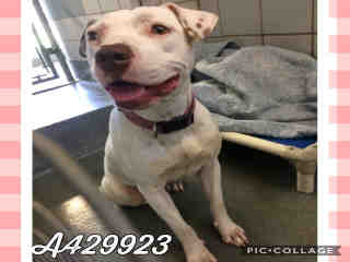 AMERICAN STAFFORDSHIRE TERRIER Female  Young  Puppy #A429923#  Animal Care Services (San Antonio) - click here to view larger pic