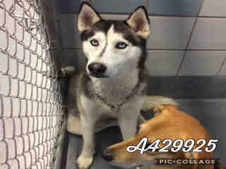 ALASKAN HUSKY Male  Adult  Dog #A429925#  Animal Care Services (San Antonio) - click here to view larger pic