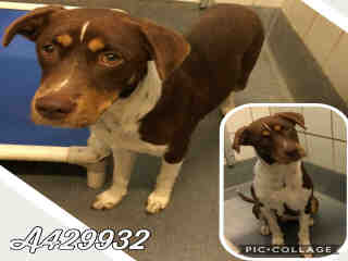Mix-Bred LABRADOR RETRIEVER Female  Adult  Dog #A429932#  Animal Care Services (San Antonio) - click here to view larger pic