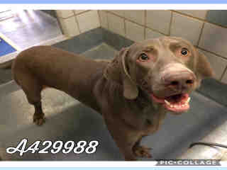 WEIMARANER Male  Adult  Dog #A429988#  Animal Care Services (San Antonio) - click here to view larger pic