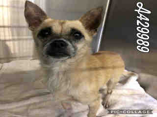 CHIHUAHUA - SMOOTH COATED Female  Young  Puppy #A429989#  Animal Care Services (San Antonio) - click here to view larger pic