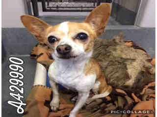 Mix-Bred CHIHUAHUA - SMOOTH COATED Female  Adult  Dog #A429990#  Animal Care Services (San Antonio) - click here to view larger pic