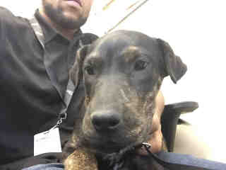 Mix-Bred LABRADOR RETRIEVER Female  Young  Puppy #A430002#  Animal Care Services (San Antonio) - click here to view larger pic