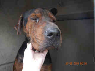 <u> Mix-Bred CHINESE SHARPEI Male  Adult  Dog  (Secondary Breed: BLACK AND TAN COONHOUND)</u>