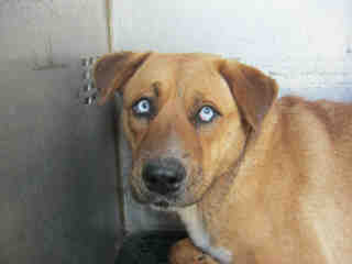 Mix-Bred SHEPHERD Male  Adult  Dog #A430026#  Animal Care Services (San Antonio) - click here to view larger pic