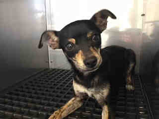 Mix-Bred CHIHUAHUA - SMOOTH COATED Male  Young  Puppy #A430036#  Animal Care Services (San Antonio) - click here to view larger pic