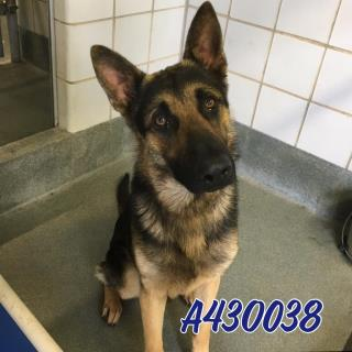 Mix-Bred GERMAN SHEPHERD DOG Male  Adult  Dog #A430038#  Animal Care Services (San Antonio) - click here to view larger pic