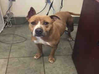 Mix-Bred STAFFORDSHIRE BULL TERRIER Female  Young  Puppy #A430042#  Animal Care Services (San Antonio) - click here to view larger pic