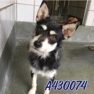 Mix-Bred CHIHUAHUA - LONG HAIRED Male  Adult  Dog #A430074#  Animal Care Services (San Antonio) - click here to view larger pic