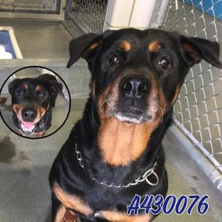 Mix-Bred ROTTWEILER Female  Older  Dog #A430076#  Animal Care Services (San Antonio) - click here to view larger pic