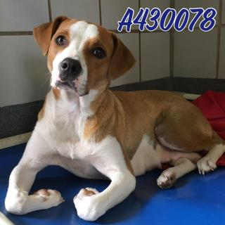 Mix-Bred TERRIER Female  Adult  Dog #A430078#  Animal Care Services (San Antonio) - click here to view larger pic