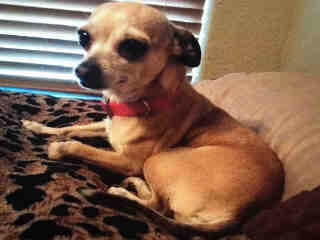 Mix-Bred CHIHUAHUA - SMOOTH COATED Female  Adult  Dog #A430091#  Animal Care Services (San Antonio) - click here to view larger pic