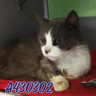 Mix-Bred DOMESTIC MEDIUMHAIR Male  Adult  Cat #A430302#  Animal Care Services (San Antonio) - click here to view larger pic