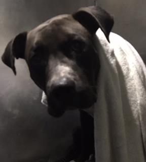Mix-Bred AMERICAN STAFFORDSHIRE TERRIER Male  Adult  Dog #A430372#  Animal Care Services (San Antonio) - click here to view larger pic
