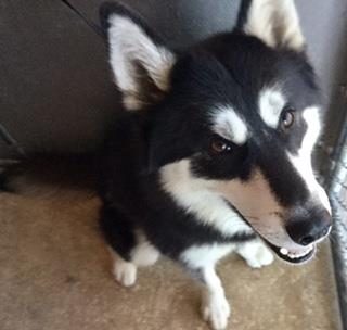 Mix-Bred ALASKAN HUSKY Male  Adult  Dog #A430374#  Animal Care Services (San Antonio) - click here to view larger pic
