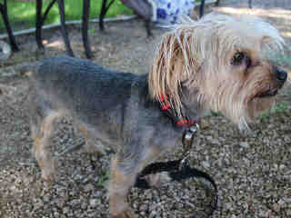YORKSHIRE TERRIER Male  Adult  Dog #A430375#  Animal Care Services (San Antonio) - click here to view larger pic