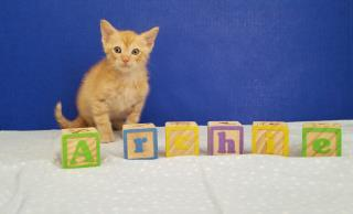 Mix-Bred DOMESTIC SHORTHAIR Male  Young  Kitten #A431161#  Animal Care Services (San Antonio) - click here to view larger pic