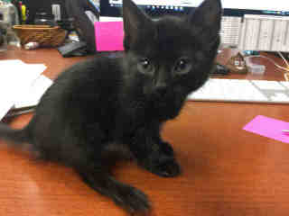 Mix-Bred DOMESTIC SHORTHAIR Female  Young  Kitten #A431180#  Animal Care Services (San Antonio) - click here to view larger pic