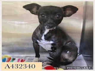 Mix-Bred CHIHUAHUA - SMOOTH COATED Female  Adult  Dog #A432340#  Animal Care Services (San Antonio) - click here to view larger pic