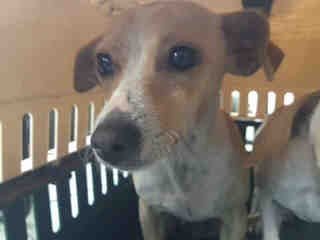CHIHUAHUA - SMOOTH COATED Female  Adult  Dog #A432478#  Animal Care Services (San Antonio) - click here to view larger pic