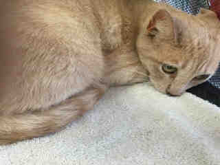 Mix-Bred DOMESTIC SHORTHAIR Female  Adult  Cat #A433880#  Animal Care Services (San Antonio) - click here to view larger pic