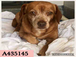 Mix-Bred DACHSHUND Male  Adult  Dog #A435145#  Animal Care Services (San Antonio) - click here to view larger pic