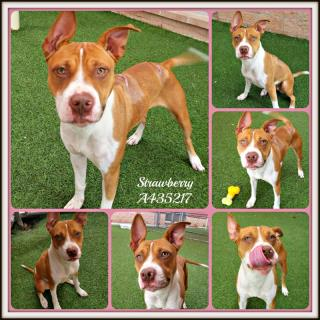 Mix-Bred STAFFORDSHIRE BULL TERRIER Female  Adult  Dog #A435217#  Animal Care Services (San Antonio) - click here to view larger pic