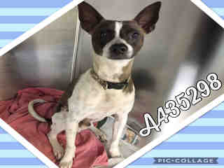 Mix-Bred RAT TERRIER Male  Adult  Dog #A435298#  Animal Care Services (San Antonio) - click here to view larger pic