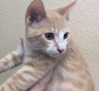 <u> Mix-Bred DOMESTIC SHORTHAIR Male  Young  Kitten </u>