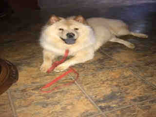 <u> Mix-Bred CHOW CHOW Male  Young  Puppy  (Secondary Breed: BLEND)</u>