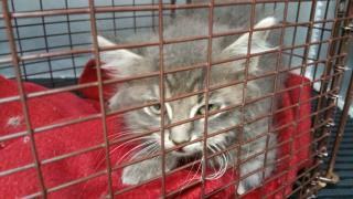 Mix-Bred DOMESTIC LONGHAIR Male  Young  Kitten #A435898#  Animal Care Services (San Antonio) - click here to view larger pic