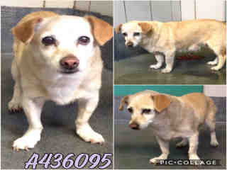 CHIHUAHUA - SMOOTH COATED Female  Adult  Dog #A436095#  Animal Care Services (San Antonio) - click here to view larger pic
