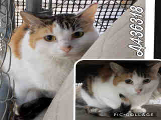 Mix-Bred DOMESTIC SHORTHAIR Female  Adult  Cat #A436318#  Animal Care Services (San Antonio) - click here to view larger pic