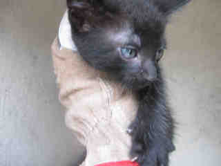 Mix-Bred DOMESTIC SHORTHAIR Male  Young  Kitten #A436334#  Animal Care Services (San Antonio) - click here to view larger pic