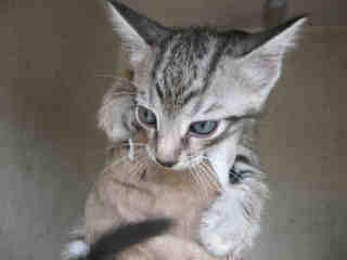 Mix-Bred DOMESTIC SHORTHAIR Male  Young  Kitten #A436339#  Animal Care Services (San Antonio) - click here to view larger pic