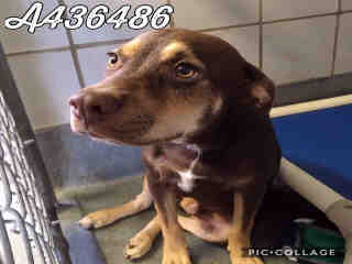 Mix-Bred SHEPHERD Male  Young  Puppy #A436486#  Animal Care Services (San Antonio) - click here to view larger pic