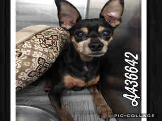 Mix-Bred MINIATURE PINSCHER Male  Adult  Dog #A436642#  Animal Care Services (San Antonio) - click here to view larger pic