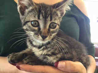 Mix-Bred DOMESTIC SHORTHAIR Female  Young  Kitten #A436775#  Animal Care Services (San Antonio) - click here to view larger pic