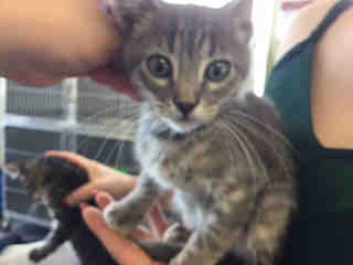 Mix-Bred DOMESTIC SHORTHAIR Male  Young  Kitten #A436778#  Animal Care Services (San Antonio) - click here to view larger pic