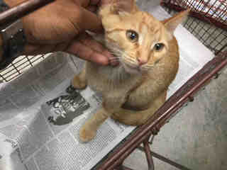 Mix-Bred DOMESTIC SHORTHAIR Male  Young  Kitten #A436871#  Animal Care Services (San Antonio) - click here to view larger pic