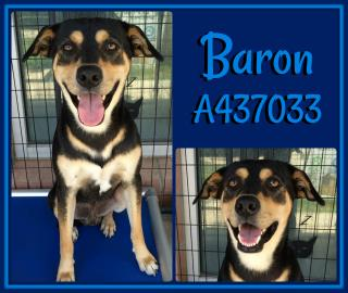 Mix-Bred SHEPHERD Male  Adult  Dog #A437033#  Animal Care Services (San Antonio) - click here to view larger pic