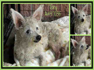 Mix-Bred WEST HIGHLAND WHITE TERRIER Male  Adult  Dog #A437035#  Animal Care Services (San Antonio) - click here to view larger pic